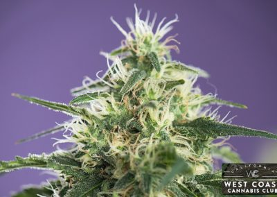 West-Coast-Cannabis-Club-Dispensary-Picture-02.jpg